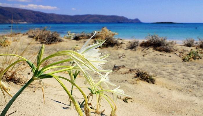 Белые лилии на пляже Элафониси на Крите