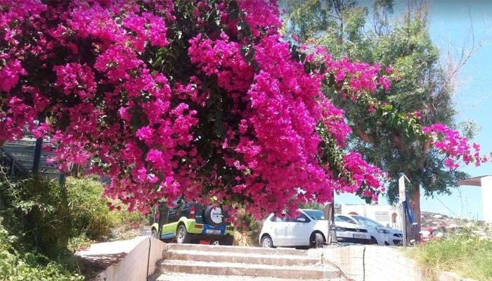 Цветущих бугенвиллий на улицах Бали на Крите